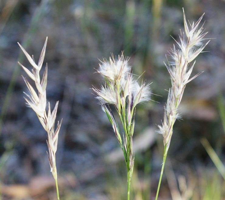 Wallaby Grass Mix Victorian Native Seed