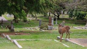 Deer in Ross Bay Cemetery, Victoria, B.C.