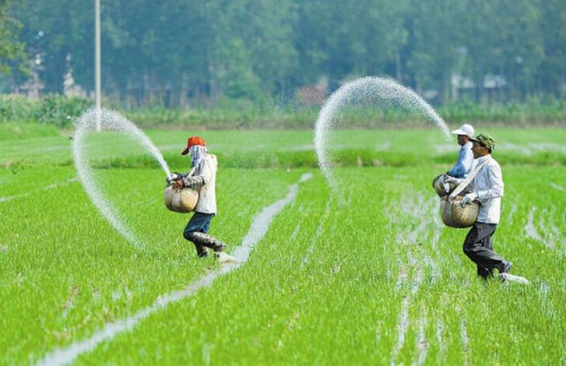 How to plant paddy rice successfully