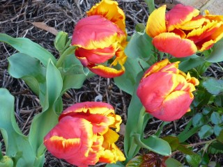 Each year I wait for my tulips to appear.