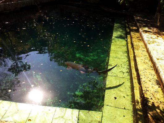 Tubarão no Parque Xcaret