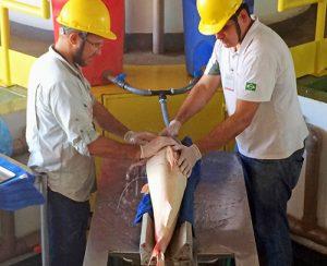 Hidrelétrica Santo Antônio faz monitoramento pioneiro da Dourada