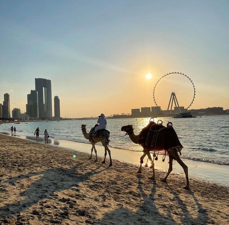 camelos a andar na pria no po do sol Dubai