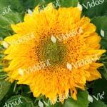Girassol Dobrado Sungold (Amarelo)  –  003033