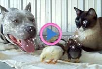 cane-gatto-e-pulcini