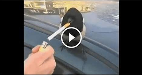 Amazing Bird Smoking Cigarette