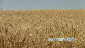 Wheat Field: 720p Thanksgiving Motion