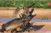 Jaguar Attacks A Caiman Crocodile