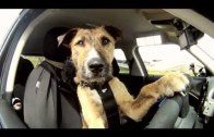 Dogs Taught To Driver A Car