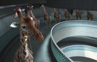 The Amazing High Diving Giraffes