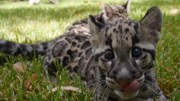 Baby Clouded Leopards – First Time Outside