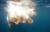 Let Us Swim With The Polar Bear