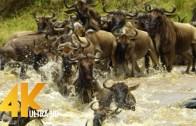 Fantastic Video Of Serengeti Wildlife Migration