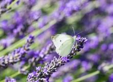 Leptir kupusar - Butterfly on lavender
