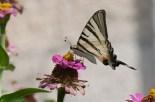 Lastin rep - Papilio machaon