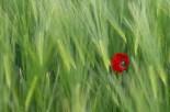 Mak u raži - Poppy in rye