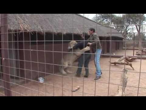 A Lion Tries to Eat a Man