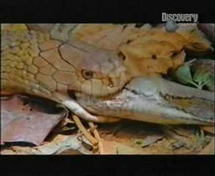 Cobra vs. Python in Jungle