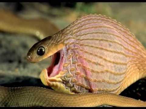 Crazy Snake Eating Egg ( Amazing Nature)