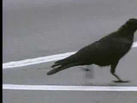 Crows And Their Intelligence