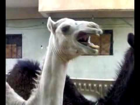 Ever Seen A Camel Laughing?