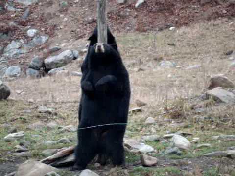 Funny Bear Pole Dancing