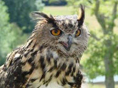 Hungarian Owl Mystery