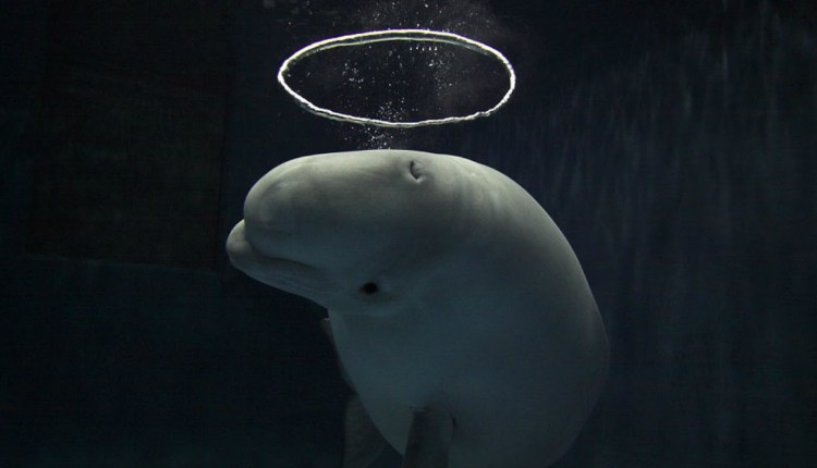 Japanese Whales Blowing Bubble Rings