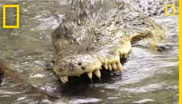 King Cobra Vs Saltwater Crocodile