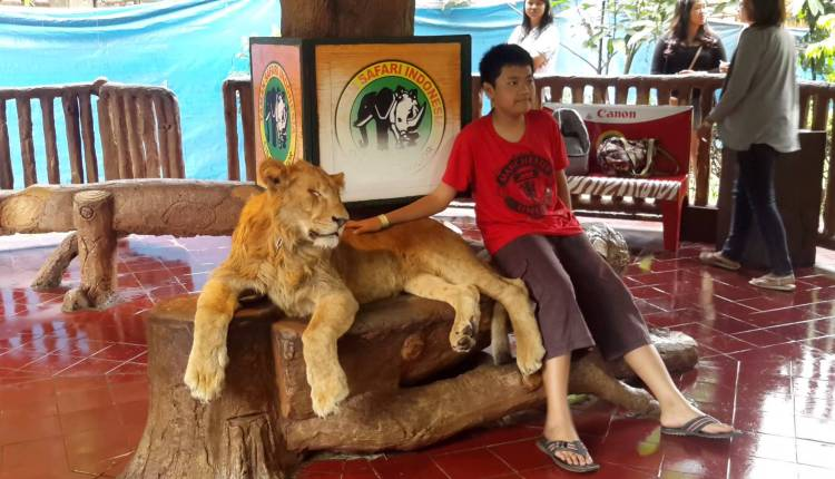 Lion Drops Head After Posing For Photo