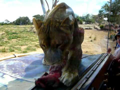 Lion Feeding Time At Werribee Zoo In Australia