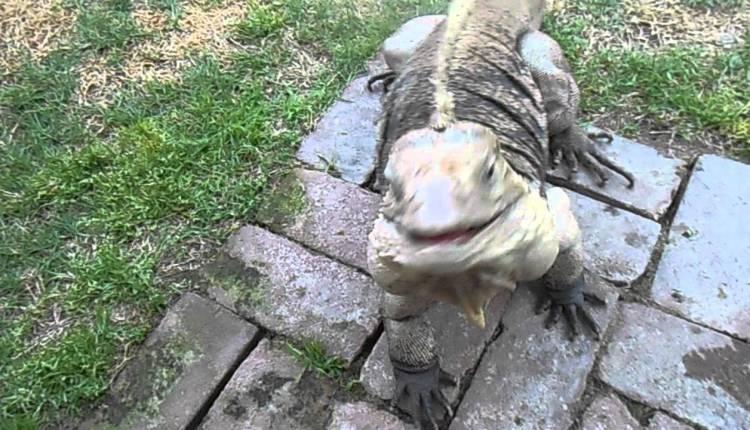 Lizard Greets Man Like A Dog