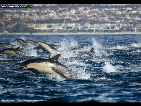 Spectacular Vision Of Dolphin Stampede