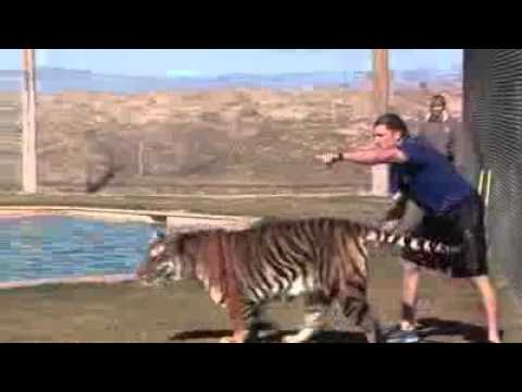 Tigers In Action At The Africa Wildlife Park