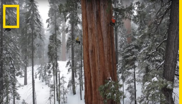 Magnificent Giant Tree Sequoia In A Snowstorm