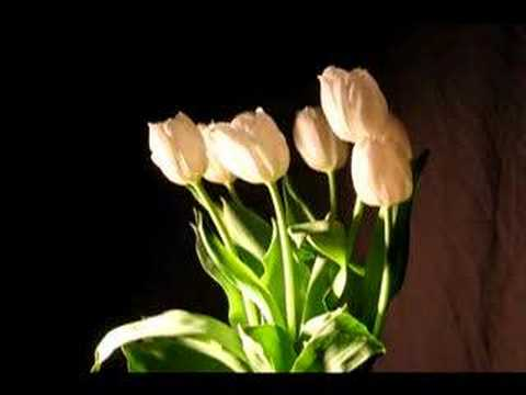 Tulips Time Lapse