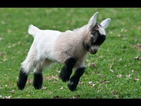 These Adorable Baby Goats Will Make You Smile