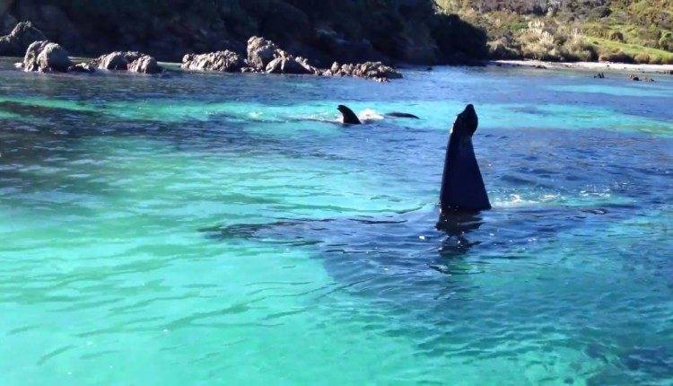 An Encounter With Orcas Whales In New Zealand