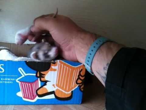 Cute Ferret Showing Her Adorable Newborn Babies