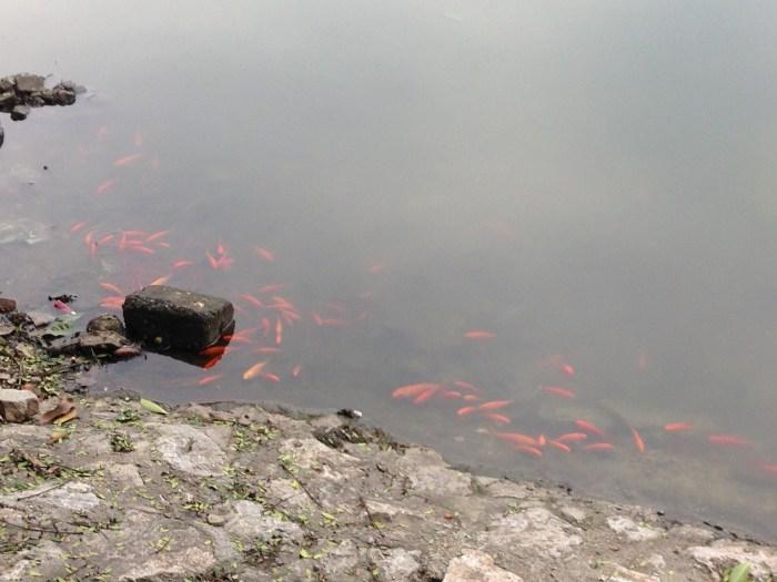 tet fish