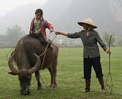 Rice Paddy Water Buffalo