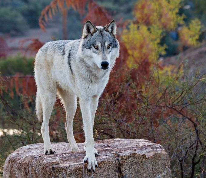 Tundra Gray Wolf by Cherylnestico - Celebrating Nature Photo Contest Vol 5