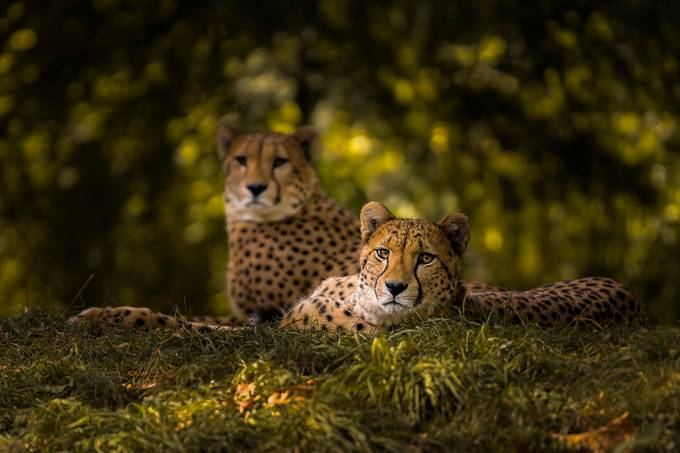 Cheetah Couple by sakevanpelt - The Wonders of the World Photo Contest