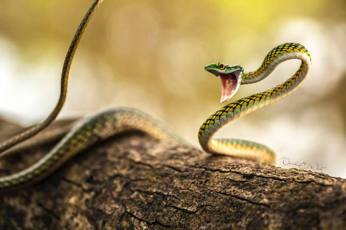 Animated Parrot Snake by wild-west - Celebrating Nature Photo Contest Vol 5