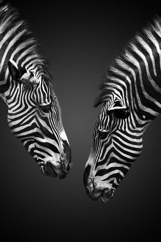 Zebra Social Networking by ivannicolau - The Wonders of the World Photo Contest