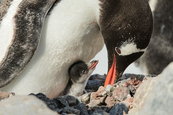 Gentoo With Chick by alanpeterson - Celebrating Nature Photo Contest Vol 5
