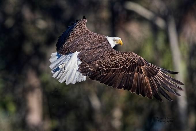 Beautiful Eagle Pose by shiningwillow1018 - Celebrating Nature Photo Contest Vol 5