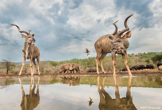 Kudu by mikehodgson - Celebrating Nature Photo Contest Vol 5