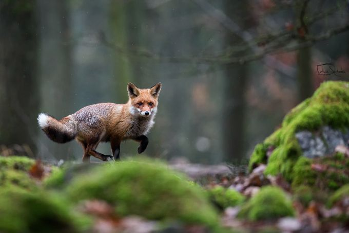 The red fox (Vulpes vulpes) by tomas_photographer - The Wonders of the World Photo Contest