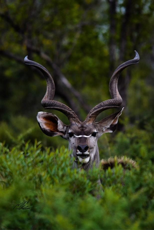 Kudu by mattjkennedy - The Wonders of the World Photo Contest